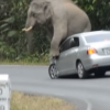 Jerk Elephant Sits on Car in Thailand