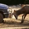 Stakes Rise in Ongoing Car vs. Deer Grudge Match