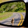 California Coyotes Disrupting Traffic May Be Tripping on Shrooms (Or Some Other More Likely, Boring Reason)