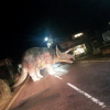 Dinosaur Disrupts Traffic on the Isle of Wight