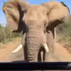 Watch This Elephant Chase Arnold Schwarzenegger's Safari Vehicle
