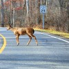 Safe Fall Driving: How to Avoid a Deer and What to Do if You Can't