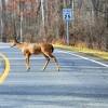 Oh Deer! Massachusetts Man Blames Speeding Ticket on Nearby Deer