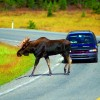 What To Do When There is a Moose in the Road