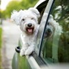 Why Do Dogs Stick Their Heads Out Car Windows & Is It Dangerous?