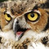 "Great Horned Owl Gets ""Owl"" Up in an SUV's Grille"