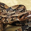 Massachusetts Man Finds a Boa Constrictor in His Truck's Engine Bay