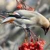 Drunk Birds in Minnesota Wreaking Havoc on Cars