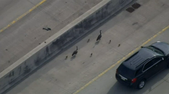 Family of Geese Shuts Down I-80 near Chicago