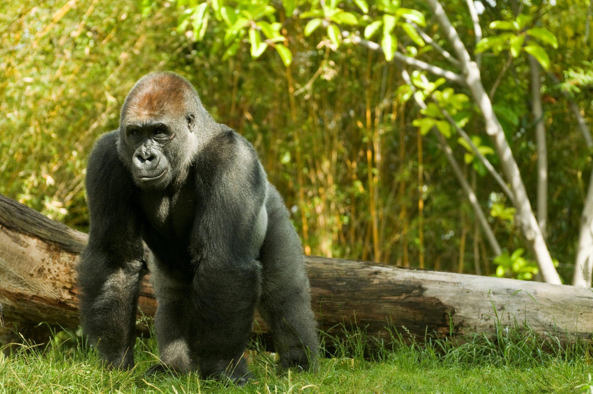 gorilla | weird traffic laws
