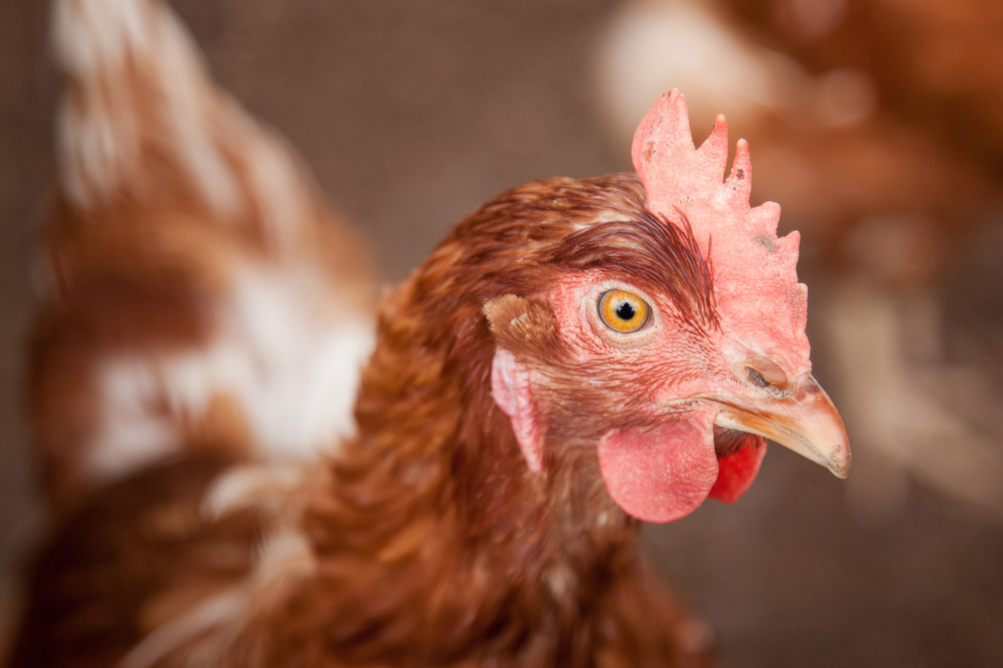 Man Goes to Jail for Driving Drunk with a Bunch of Chickens
