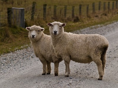 Driving in Ireland rural road sheep Tim Williams