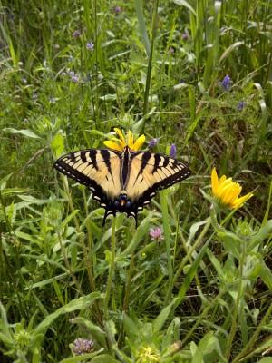 Monarch butterfly waystation habitats