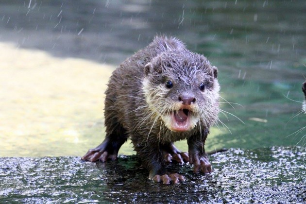 Auckland Zoo's Conservation Efforts Mazda Otter