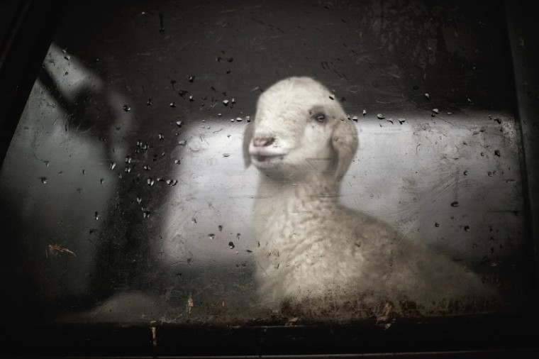Sheep Lamb Foggy Windshield and windows defog my windshiel