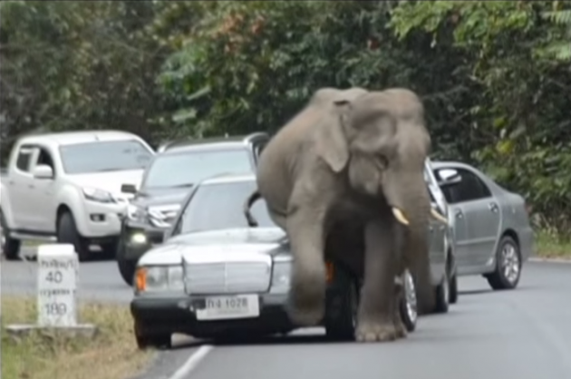 elephant sits on car