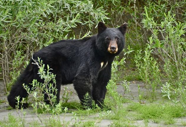 A black bear ripped apart a Ford Ranger.