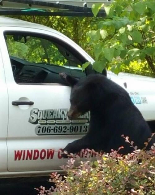Bear Climbing into Pickup Truck