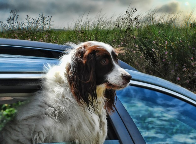 Dog-in-a-car-630x463