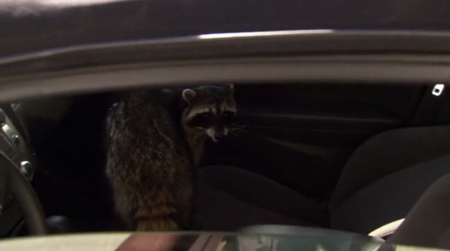 The Office - Goodbye, Toby - Raccoon