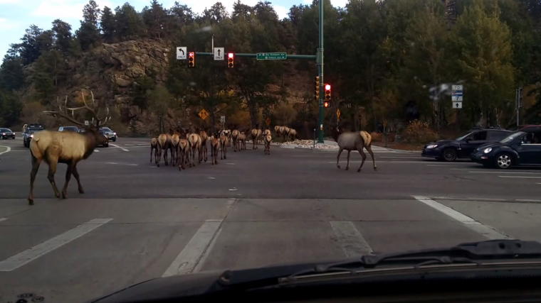A group of ELK were caught on tape as they loitered at a busy intersection in Colorado