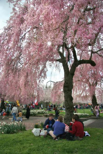 The Cherry Blossom Festival commemorates Japan's donation of 1,600 cherry blossoms to Philadelphia in 1926
