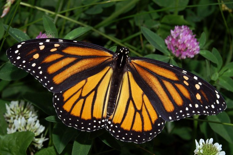 Subaru is partnering with the NFW for the Butterfly Heroes project, to provide habitats for the dwindling numbers of monarch butterflies
