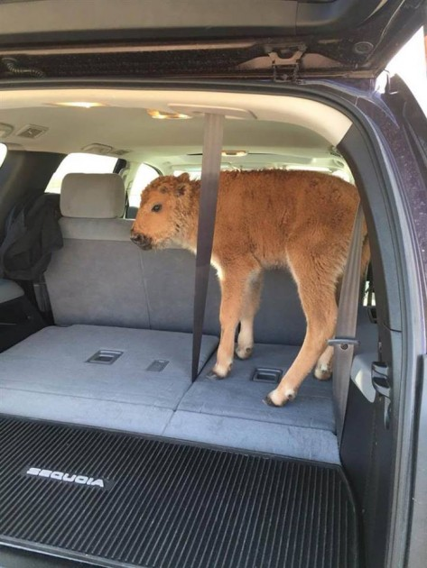 Bison calf in SUV