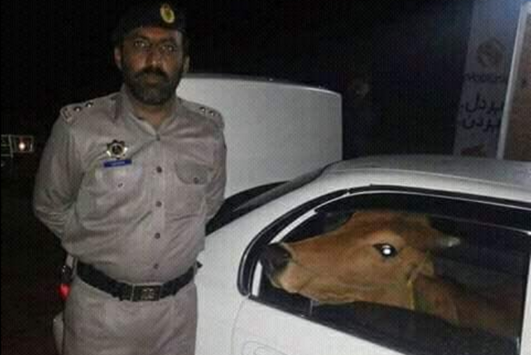 Packistani man steals cow in car