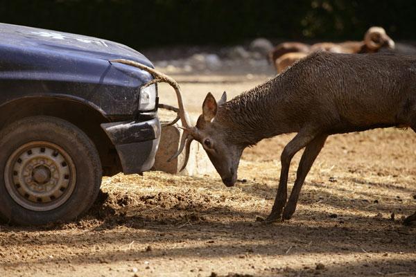 deer hits car roadkill animal impact headbutt