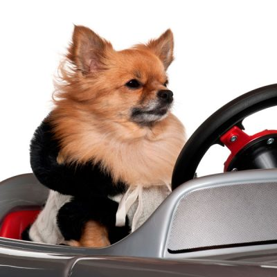 dog driving a car dressed up pet