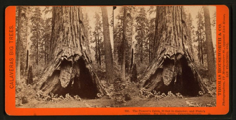 The Pioneer Cabin Tree before the tunnel at its base was expanded