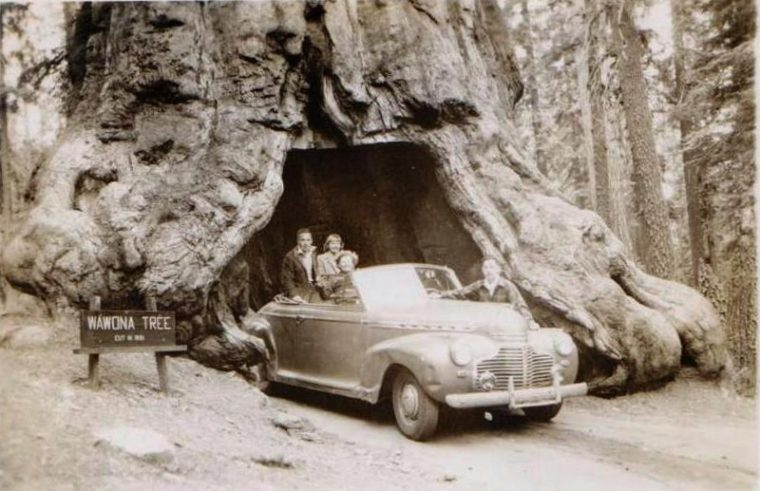 Another tunnel tree, the Wawona Tree, which was once located in California before it fell as well