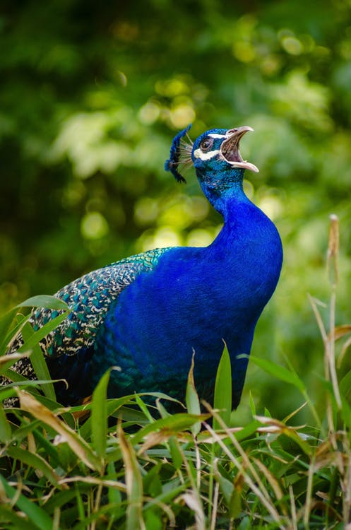 Pugnacious Peacocks Attack Luxury Vehicles in Surrey, B.C ...