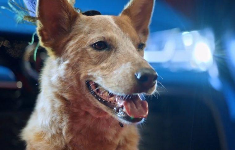 2019 toyota corolla hatchback commercial catwalk dog