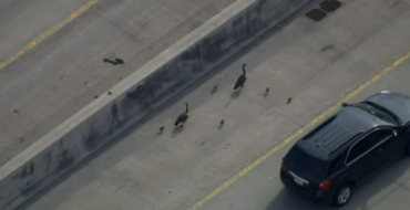Why Did the Geese Cross the Road? Because the Cops Made Them.