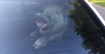 Little Piggy Goes Wee (and Poo) in Police Car–All the Way Home