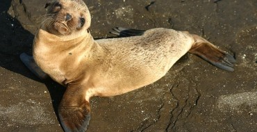 Kia Teams Up with the Pacific Marine Mammal Center to Save Baby Sea Lions