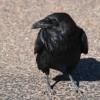 Dead Crows Litter Spokane City Streets, Edgar Allan Poe Suspected