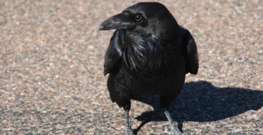 Dead Crows Litter Spokane City Streets, Edgar Allan Poe Suspected
