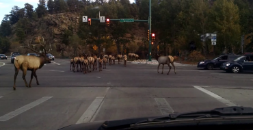 Family of Elk Set off on Road Trip, Cause Traffic 'Ram'