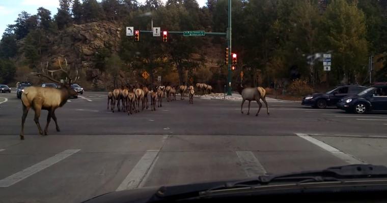 Family of Elk Set off on Road Trip, Cause Traffic 'Ram'