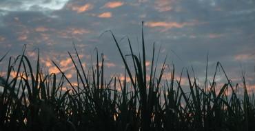 Thanks, Sugar: Modified Sugarcane May Make Better Biodiesel