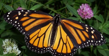 Save the Butterflies: Subaru Partners with NWF for Butterfly Heroes Project