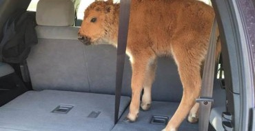 Yellowstone Tourists Put Bison Calf in Their Trunk Because They Thought It Was Cold
