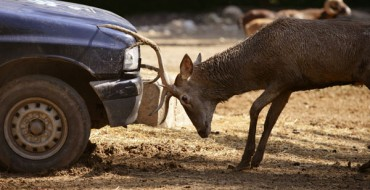 What to Do If You Hit an Animal on the Road