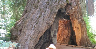 Famous Tunnel Tree Falls Following Massive Storm