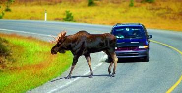 Moose Love Licking Cars, Especially Subarus