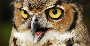 """Great Horned Owl Gets """"Owl"""" Up in an SUV's Grille"""