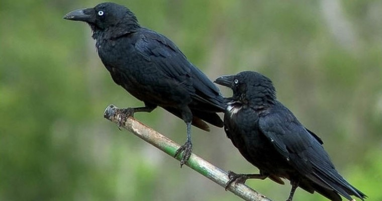 Two Crows vs. a Range Rover
